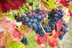 Rode wijnstokdruiven in wijngaard Stock Afbeelding