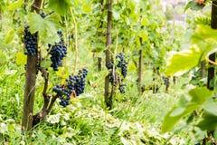 Rode wijnstokdruiven in Zwitserland in de zomer Stock Afbeelding