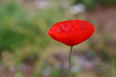 Rode wilde papaver Royalty-vrije Stock Afbeelding