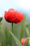 Rode wilde papaver Stock Foto