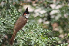 Rode Wiskered Bulbul Stock Foto