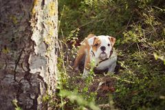 Rode witte het bont van de puppy het Engels-Franse buldog zit stellen voor camera in wild bos die vrijetijdskleding dragen Leuk w Stock Afbeeldingen