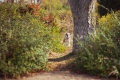 Rode witte het bont van de puppy het Engels-Franse buldog zit stellen voor camera in wild bos die vrijetijdskleding dragen Leuk w Royalty-vrije Stock Afbeeldingen