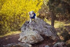 Rode witte het bont van de puppy het Engels-Franse buldog zit stellen voor camera in wild bos die vrijetijdskleding dragen Leuk w Royalty-vrije Stock Fotografie
