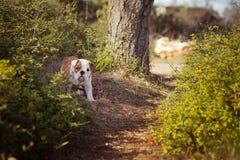 Rode witte het bont van de puppy het Engels-Franse buldog zit stellen voor camera in wild bos die vrijetijdskleding dragen Leuk w Royalty-vrije Stock Foto's