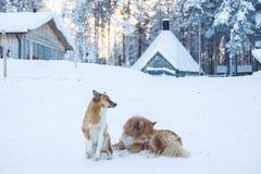 Rode & witte honden in noordelijk dorp Royalty-vrije Stock Foto's