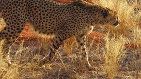 Rode woestijnjachtluipaard stock footage