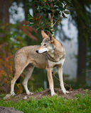 Rode wolf Royalty-vrije Stock Fotografie