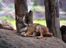 Rode wolf Royalty-vrije Stock Foto