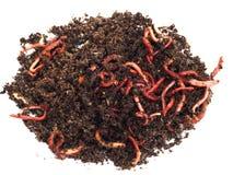 Rode wormen in compost stock afbeelding