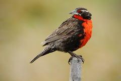 Rode zangvogel Meadowlark met lange staart, Sturnella-loycafalklandica, Saunders-Eiland, Falkland Islands Rode en bruine liedvoge stock foto