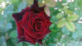 Rode zeer mooi rosa nam toe royalty-vrije stock afbeeldingen