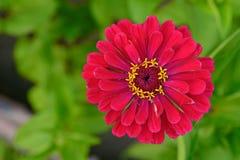 Rode zinia stock afbeeldingen