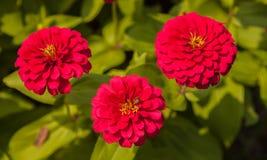 Rode Zinnia royalty-vrije stock foto's