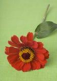 Rode Zinnia binnen op groen Royalty-vrije Stock Afbeelding
