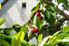 Rode zoete kersen op een tak met waterdalingen na een regen in de tuin op de vroege zomerdag Royalty-vrije Stock Afbeeldingen
