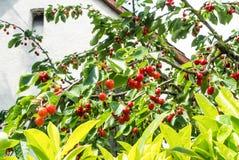 Rode zoete kersen op een tak met waterdalingen na een regen in de tuin op de vroege zomerdag Stock Foto