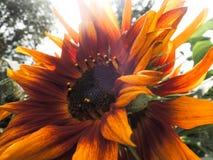 Rode zonnebloem die in de zon bloeien Royalty-vrije Stock Foto's