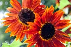 Rode zonnebloemen Stock Afbeelding