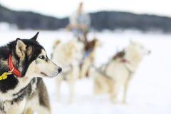 Rodeln mit heiseren Hunden Lizenzfreie Stockfotos