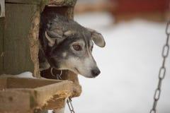Rodeln mit Schlittenhund in Lappland in der Winterzeit Lizenzfreie Stockbilder