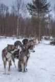 Rodeln mit Schlittenhund in Lappland in der Winterzeit Stockfotos