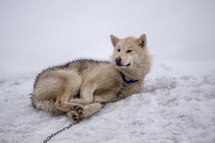 Rodelnder Hund, Sisimiut Grönland lizenzfreies stockfoto