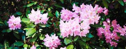 Rodendrons decora o jardim botânico Panorama bonito com rodendrons cor-de-rosa do verão no fundo das folhas imagem de stock royalty free