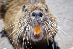 Rodent. Picture rodent close. The nose, whiskers and teeth Royalty Free Stock Photos