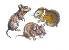 Rodent Stock Image