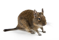 Rodent. Octodon degus rodent  on white Stock Photo