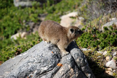 A rodent. On rock in the Cape of Good Hop Royalty Free Stock Photography