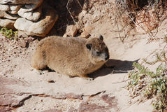 Rodent. A rodent on rock in the Capee of Good Hop Stock Images