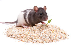 Rodent Stock Photography