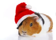 Rodent. In a red cap Stock Image