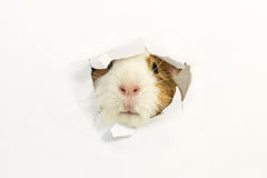Rodent ate a hole in a paper. Rodent stuck my face through a hole in the paper Stock Photo