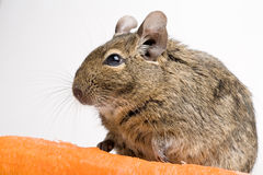 Rodent with carrot. Rodent degu side view closeup with carrot isolated on white Royalty Free Stock Images