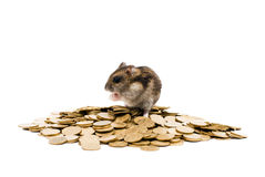 Rodent on the coins in profile Isolated on white Royalty Free Stock Photography