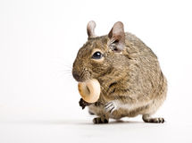 Rodent with crisp Royalty Free Stock Image