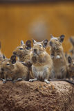 Rodent degu Royalty Free Stock Photos