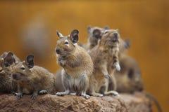 Rodent degu Stock Photography