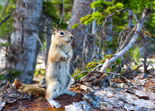 Rodent on dry tree in green forest. Stock Photo