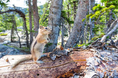 Rodent on dry tree in green forest. Stock Images