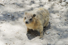 Rodent. A rodent in Ein Gedi, Israel Stock Photography