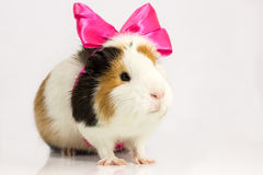 Rodent in the gift. Stock Photo
