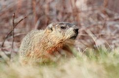 Rodent in grass Royalty Free Stock Photo