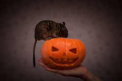 Rodent in Halloween pumpkin Royalty Free Stock Image