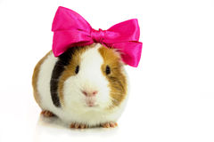Rodent with a pink bow . Royalty Free Stock Photos