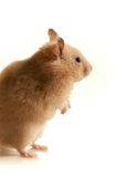 Rodent profile Royalty Free Stock Image
