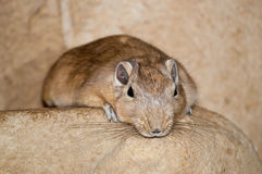 Rodent on a rock. Rodent looking sad on a rock Stock Image